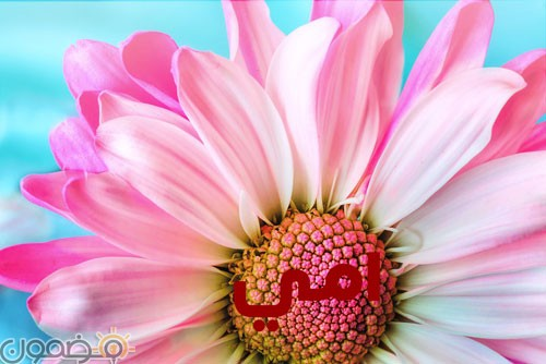 امي 5 وردة لست الحبايب صور عيد الام
