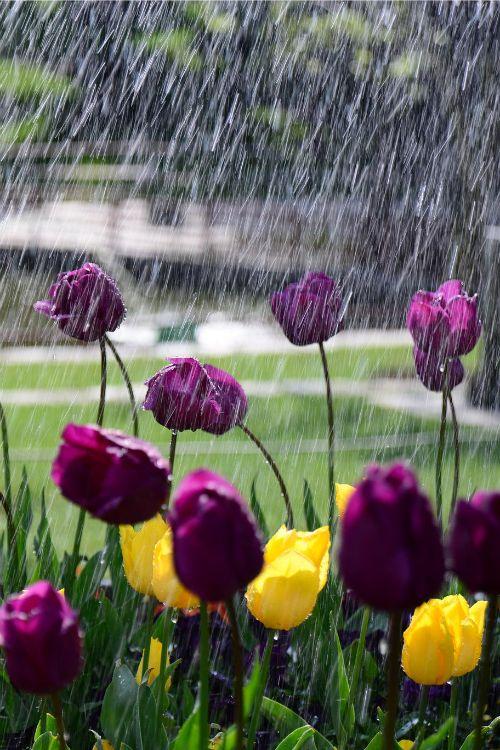 صور مطر ورود صور مطر فصل الشتاء رومانسية جميلة للفيس بوك
